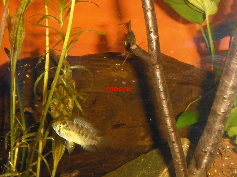 Apistogramma borellii Pantanal 7911