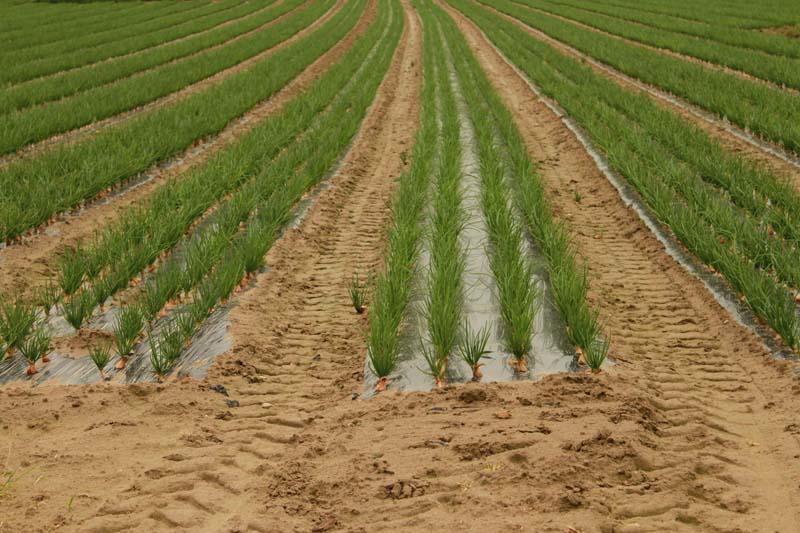 Au pays de l'oignon rose (Roscoff, Plouescat, Batz...) Ploues12