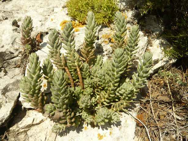 Petrosedum sediforme (ex Sedum) - orpin de Nice 1_dabu10