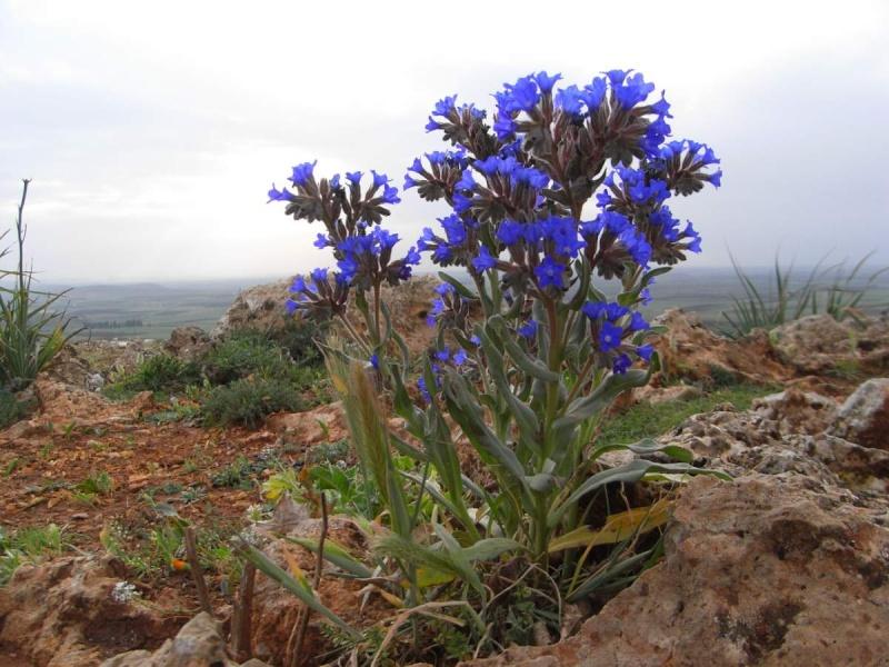 Anchusa italica - buglosse d'Italie Anchus12