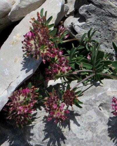 Anthyllis montana L. - vulnéraire des montagnes, anthyllide des montagnes Anthyl12