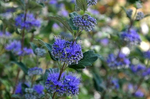 Caryopteris x clandonensis Aoyt_241