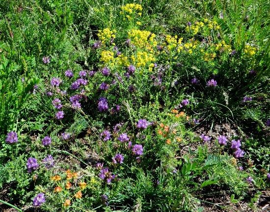prairies alpines début juin dans le Briançonnais (05) Astrag10