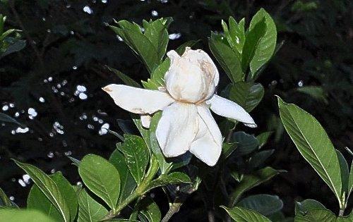 Gardenia rustiques Copy_113