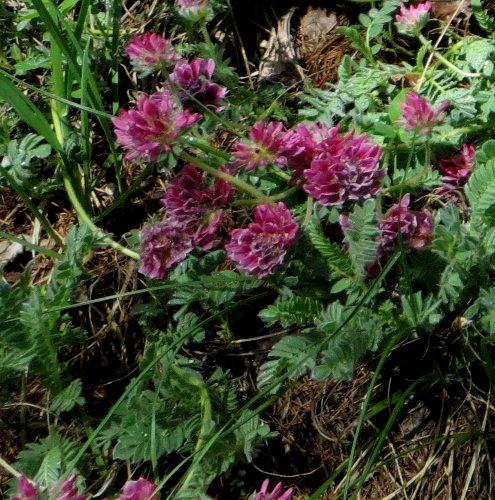 Anthyllis montana L. - vulnéraire des montagnes, anthyllide des montagnes Copy_o11
