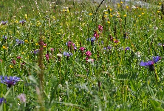 prairies alpines début juin dans le Briançonnais (05) Copy_o12