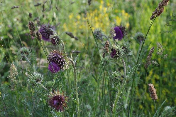 prairies alpines début juin dans le Briançonnais (05) Copy_o13