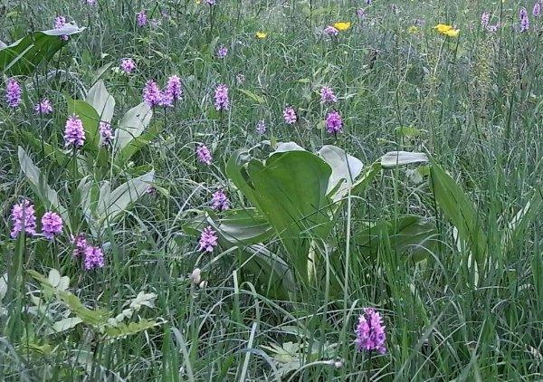 prairies alpines début juin dans le Briançonnais (05) Copy_o14