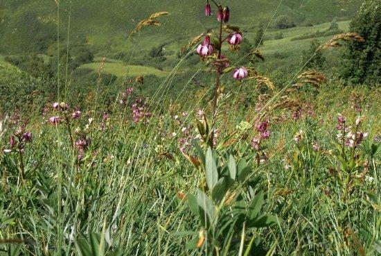 prairies alpines début juin dans le Briançonnais (05) Copy_o15