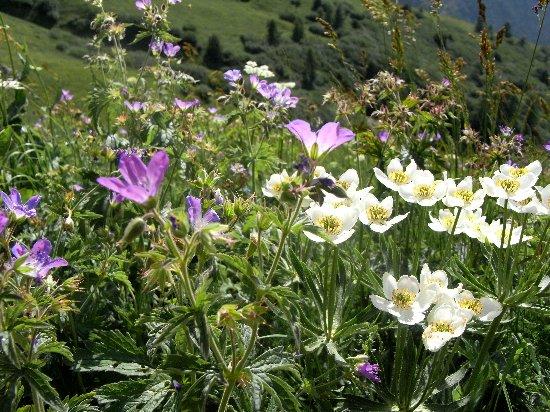 prairies alpines début juin dans le Briançonnais (05) Copy_o17