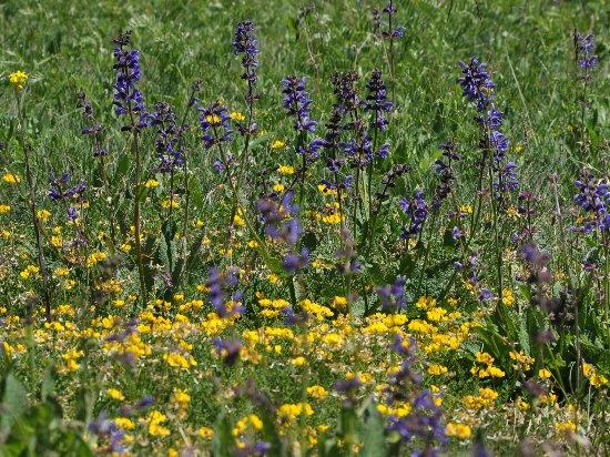 prairies alpines début juin dans le Briançonnais (05) Copy_o19