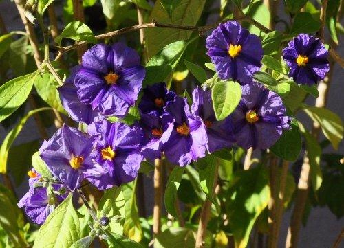 Solanum rantonnetii - Page 2 Copy_o46