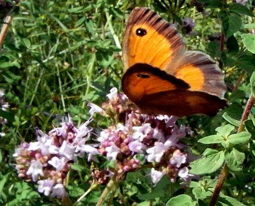 fil(et) à papillons Copy_o53