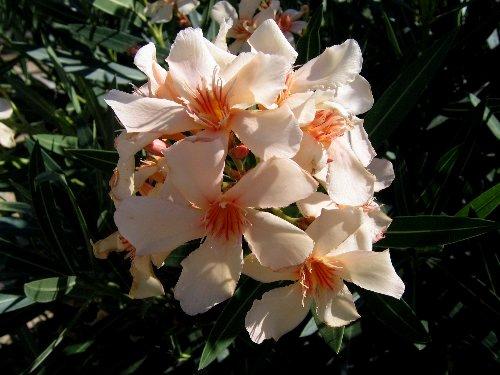 Nerium oleander - laurier rose Copy_o62