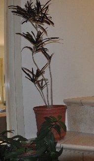 Codiaeum variegatum - croton Copy_o64