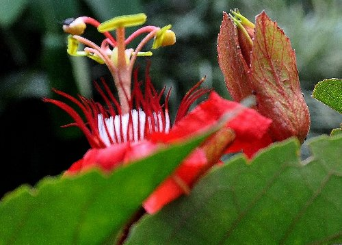 Passiflora vitifolia Copy_o95