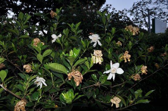 Gardenia rustiques Costa_12