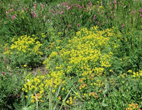 prairies alpines début juin dans le Briançonnais (05) Euphor10