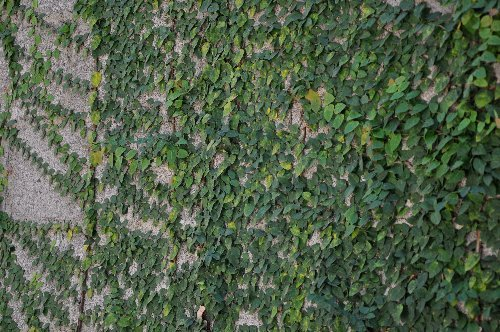 Ficus pumila - Page 2 Ficus_10