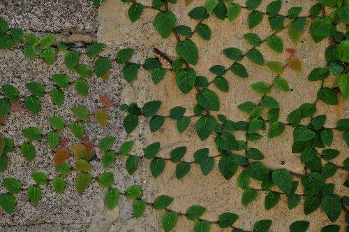 Ficus pumila - Page 3 Ficus_11