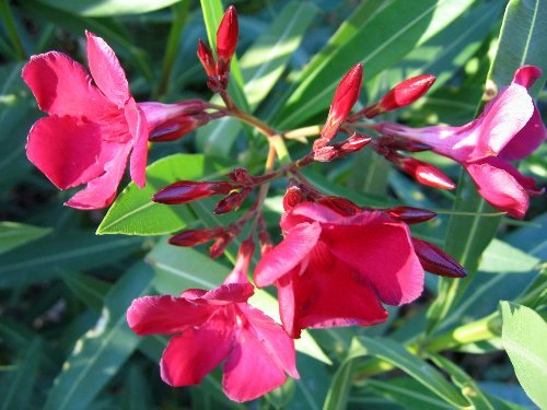 Nerium oleander - laurier rose Fin_ao10