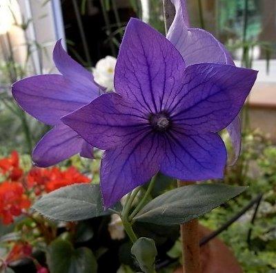 Platycodon grandiflorus - platycodon à grandes fleurs Flore_11