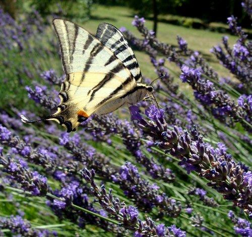 fil(et) à papillons - Page 2 Insect11