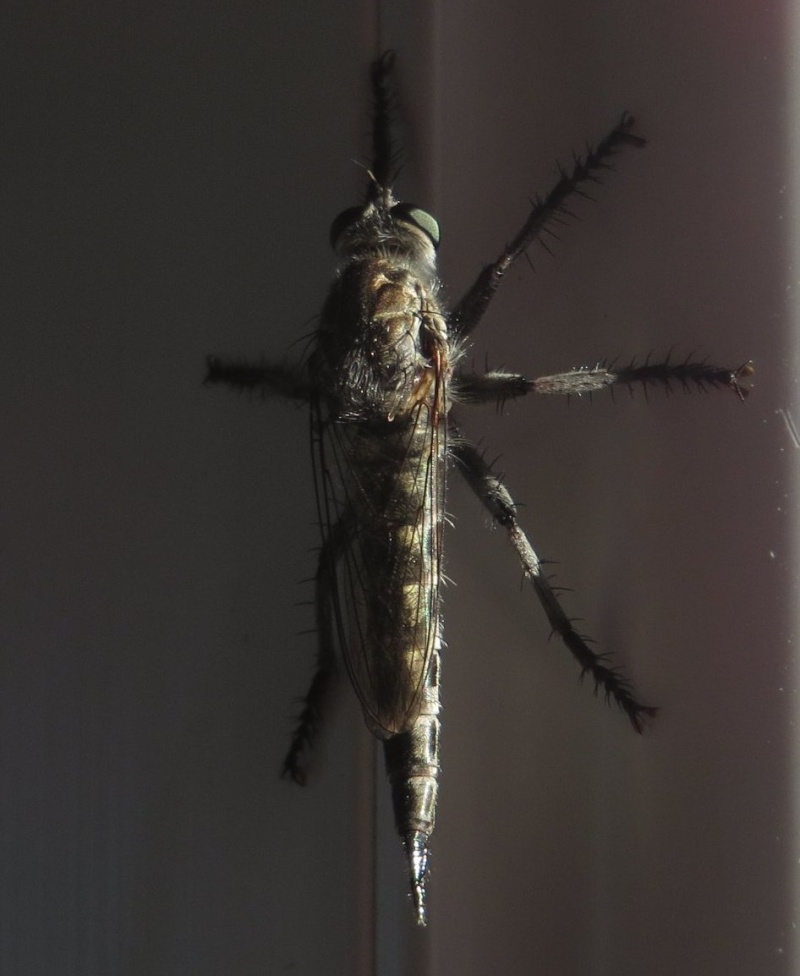 Neoitamus cyanurus Juille20