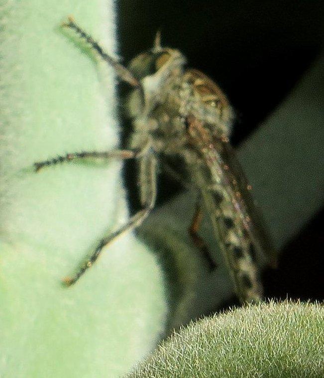 Neoitamus cyanurus Juille21