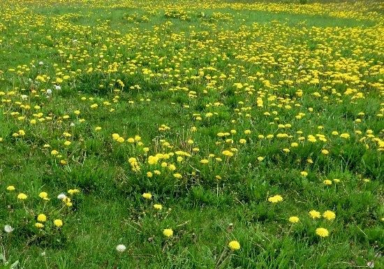 prairies alpines début juin dans le Briançonnais (05) Juin_211