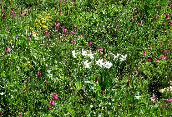 prairies alpines début juin dans le Briançonnais (05) Juin_212