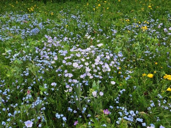 prairies alpines début juin dans le Briançonnais (05) Juin_213