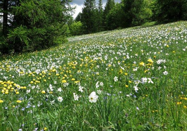 prairies alpines début juin dans le Briançonnais (05) Juin_216