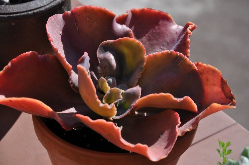 Crassulaceae - identifications et questions [verrouillé] - Page 3 Octobr21
