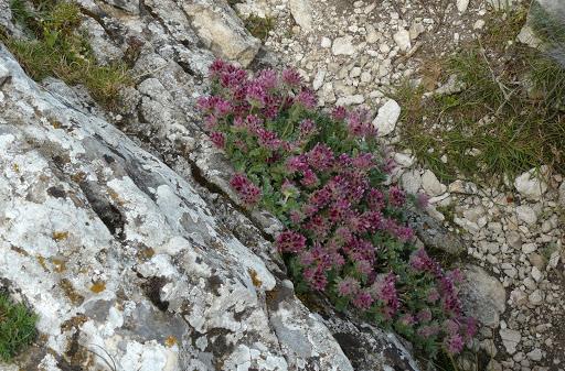 Anthyllis montana L. - vulnéraire des montagnes, anthyllide des montagnes P1310310
