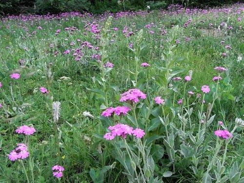 prairies alpines début juin dans le Briançonnais (05) Primul10