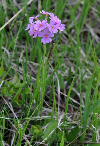 prairies alpines début juin dans le Briançonnais (05) Primul11