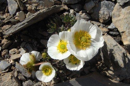 Ranunculus glacialis - renoncule des glaciers Renonc10