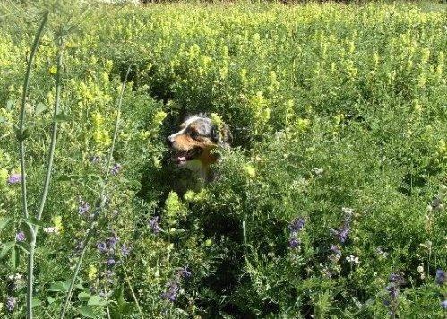 prairies alpines début juin dans le Briançonnais (05) Rhinan10