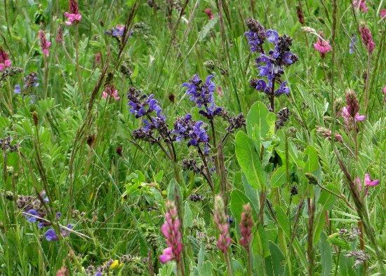prairies alpines début juin dans le Briançonnais (05) Salvia10