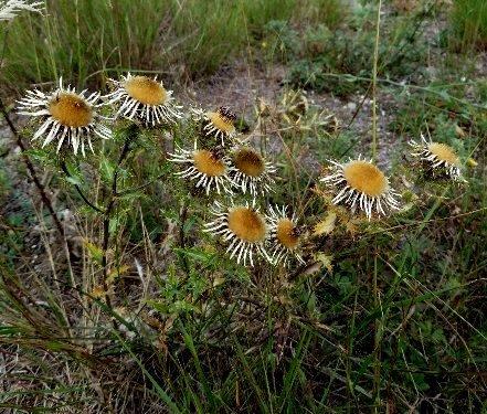 Carlina vulgaris - carline commune Septem60