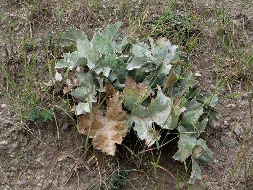 Carlina acanthifolia - cardabelle Septem61