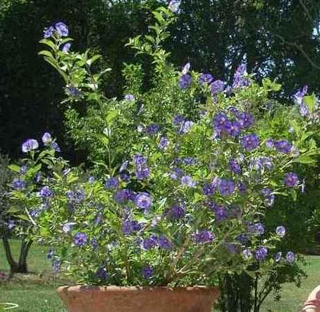 Solanum rantonnetii - Page 2 Solanu10