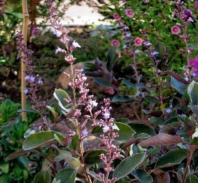 Vitex trifolia 'Purpurea' Vitex_11
