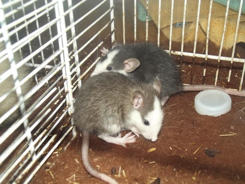 Ratons sortis de nul part ! Recherche ratouphile sur Gournay en Bray ! Dscf8610