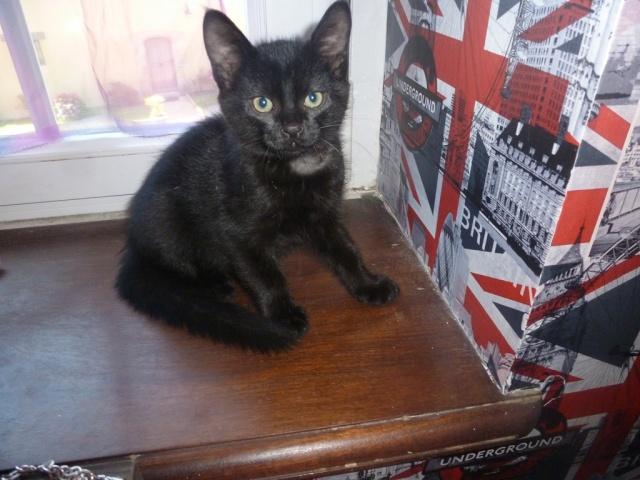 Jack, chaton mâle noir né le 19/04/2014 00610