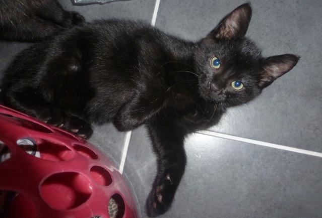Jack, chaton mâle noir né le 19/04/2014 00710