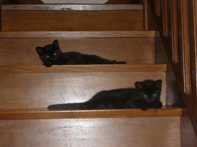 Jack, chaton mâle noir né le 19/04/2014 01110
