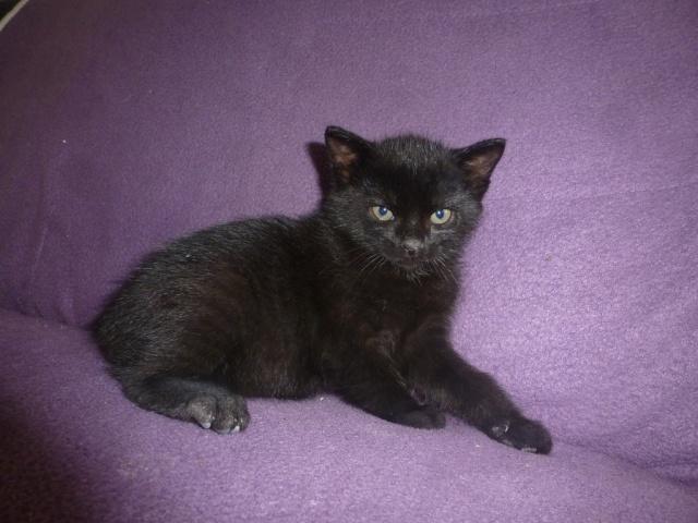 Jack, chaton mâle noir né le 19/04/2014 02910