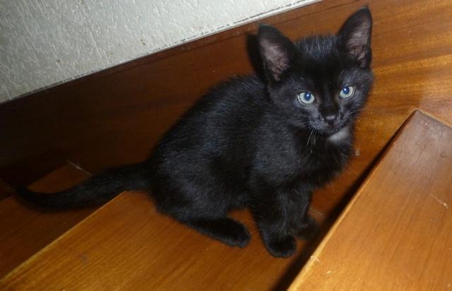 Jack, chaton mâle noir né le 19/04/2014 03110